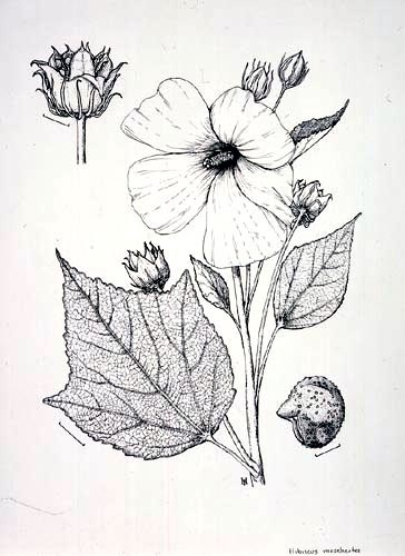 Paul Harwood, Hibiscus moscheutos Pen and ink, 12/31/02 © Copyright Brooklyn Botanic Garden