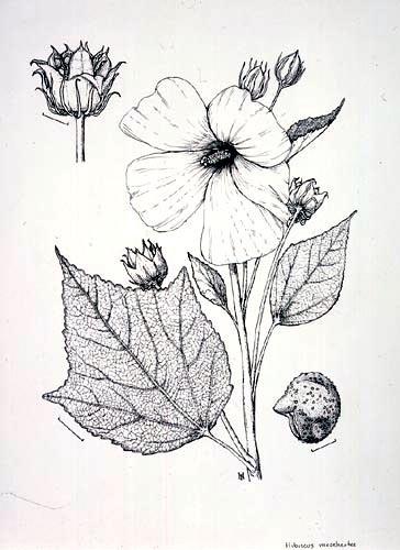 Paul Harwood, Hibiscus moscheutos Pen and ink, 12/31/02 © Copyright Brooklyn Botanic Garden