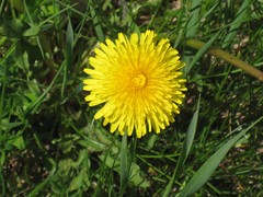 annual plant, dandelion, flower, grass, yellow, plant, flatweed, herb, wildflower, flora, meadow, plant stem,