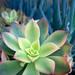Small photo of Aeonium 'Kiwi'