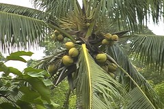date palm(0.0), papaya(0.0), borassus flabellifer(0.0), plant(0.0), produce(0.0), food(0.0), arecales(1.0), branch(1.0), tree(1.0), fruit(1.0), elaeis(1.0),