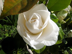 garden roses, rosa 㗠centifolia, floribunda, flower, plant, flora, gardenia, petal,