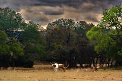 Longhorns and Live Oaks