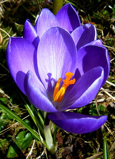 Double Crocus Bloom