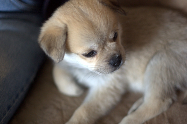 puppy, pug chihuahua alaskan eskimo mix | Flickr - Photo Sharing!