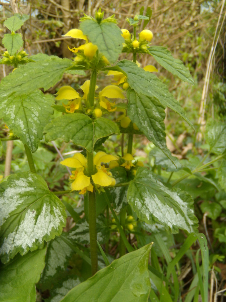 Yellow Archangel Billingshurst to Amberley