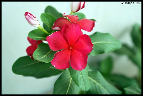 Beautiful Red Flower and buds
