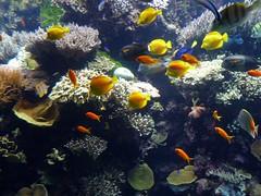 anemone fish(0.0), coral reef(1.0), coral(1.0), coral reef fish(1.0), organism(1.0), marine biology(1.0), natural environment(1.0), underwater(1.0), reef(1.0), pomacentridae(1.0), aquarium(1.0),