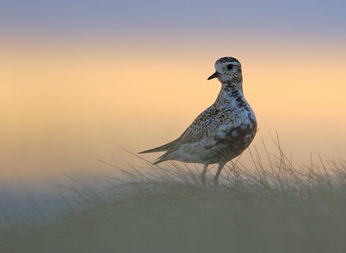 Golden Plover at sunrise 2