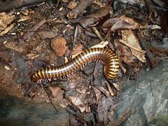 animal, invertebrate, insect, fauna, centipede, wildlife,