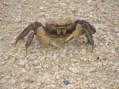 crab, animal, freshwater crab, crustacean, invertebrate, dungeness crab, fauna,
