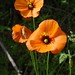 wind poppy - Photo (c) Tom Hilton, some rights reserved (CC BY)