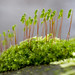 Fruiting moss cushion of Bryum capillare by -- Green Light Images --