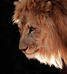 Backlit Lion