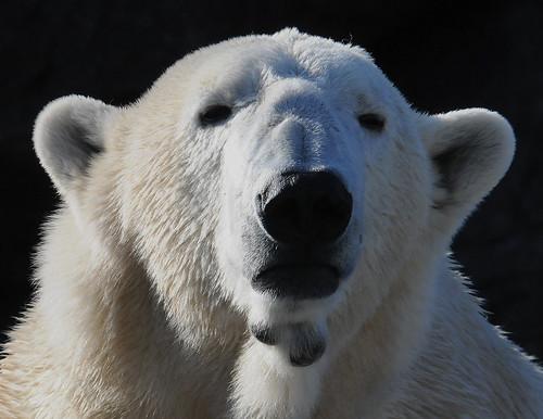ucumariphotography ursusmaritimus polarbear willy nczoo willie wilhelm metro park oso ourspolaire oursblanc osopolar 北極熊