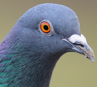 Racing Pigeon Portrait