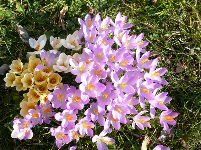 First crocus March 2009