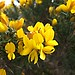 Gorse - Photo (c) nz_willowherb, some rights reserved (CC BY)