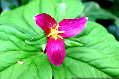 bizarre fuchsia trillium flower    MG 2555