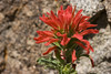 Indian Paintbrushes - Photo (c) Patrick Alexander, some rights reserved (CC BY-NC-ND)