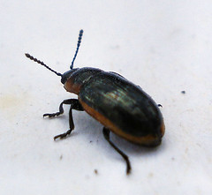 Beetles - Photo (c) Mick Talbot, some rights reserved (CC BY-NC-SA)