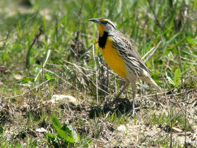 Eastern Meadowlark 20100426