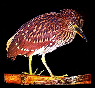Black Crowned Night Heron - Nycticorax nycticorax