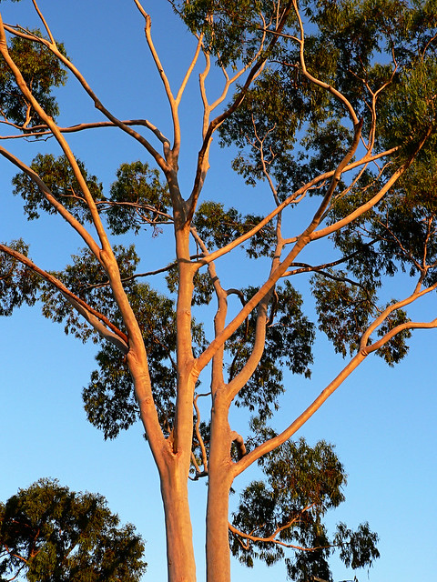Morning sun on gum tree