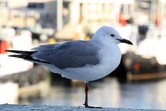 animal, charadriiformes, fauna, european herring gull, beak, bird, seabird,