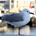 Small photo of Larus