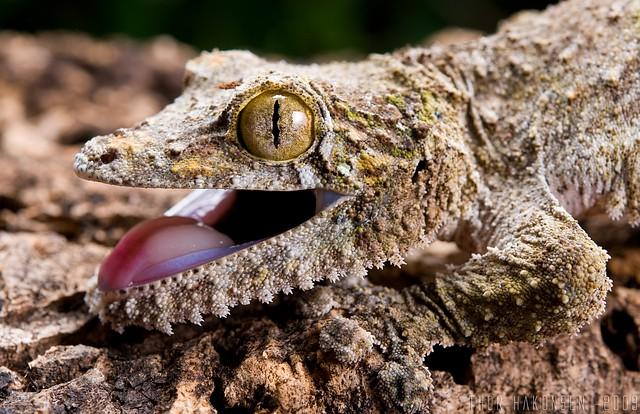 Uroplatus sikorae sikorae - Southern Leaf-tailed Gecko