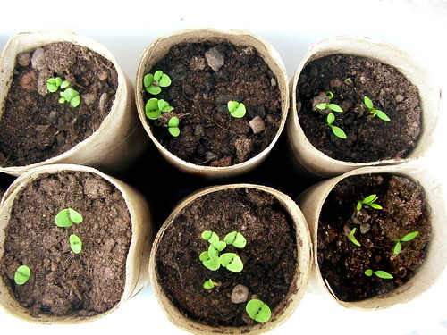 toilet roll seedling planters