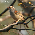 Cinnamon-tailed Sparrow