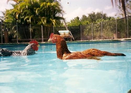 Do chickens swim flickr photo sharing for Swimming chicken