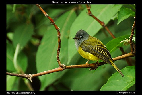 Grey Headed Canary flycatcher 3