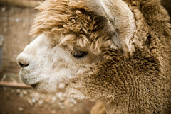 arabian camel(0.0), alpaca(1.0), animal(1.0), sheep(1.0), mammal(1.0), head(1.0), fauna(1.0), close-up(1.0), camel(1.0), wildlife(1.0),