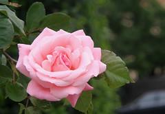 Roses Monday 3 May 2010 R 027