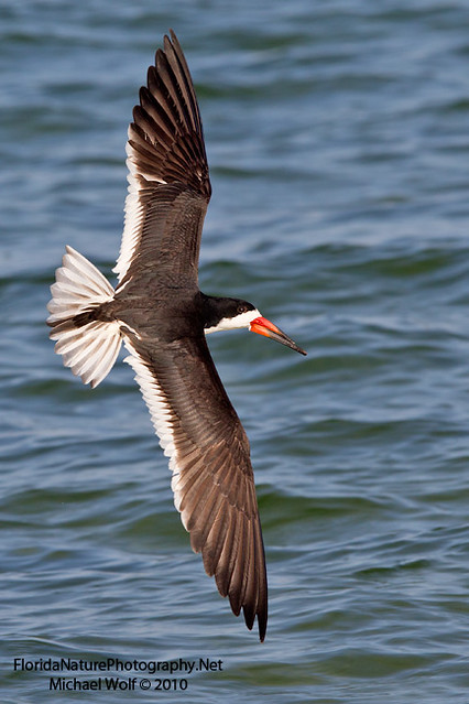 Black Skimmer Banking Turn 8776