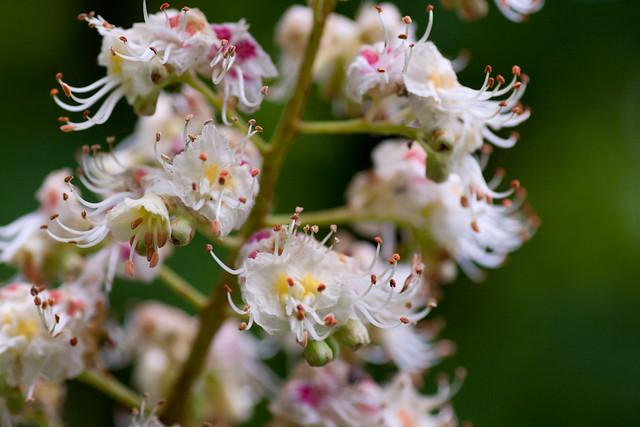 Aesculus hippocastanum, flowers