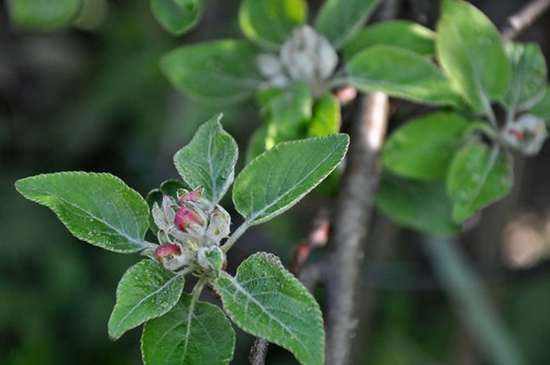 Apple tree in May