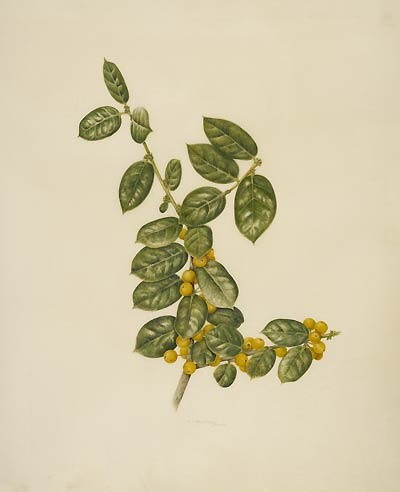 "Kelly Leahy Radding, Ilex cornuta 'D'Or', 2008  Watercolor on Cowley classic vellum, 14"" × 11"". © Copyright Brooklyn Botanic Garden"