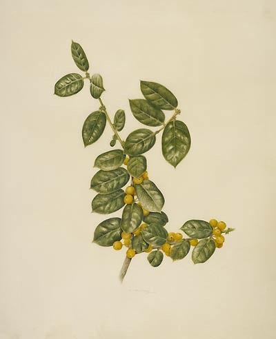 """Kelly Leahy Radding, Ilex cornuta 'D'Or', 2008  Watercolor on Cowley classic vellum, 14"""" × 11"""". © Copyright Brooklyn Botanic Garden"""