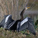 Anhinga - Photo (c) gail bj@rk, some rights reserved (CC BY-NC)