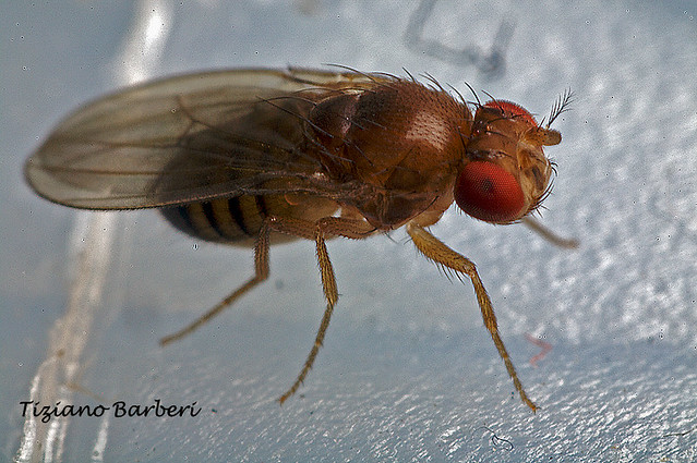 Drosophila 3 4mm About 8x No Cropped Flickr Photo Sharing