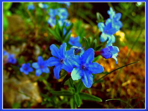 Steenzaad 'Heavenly Blue'