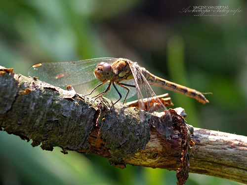 Dragonfly in Brown