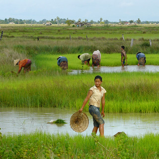 Working in the wet rice fields of Laos