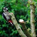 Great-spotted Woodpecker by Au13J