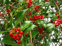 evergreen(0.0), shrub(0.0), elaeagnus multiflora(0.0), acerola(0.0), flower(0.0), strawberry tree(0.0), crataegus pinnatifida(0.0), chokecherry(0.0), schisandra(0.0), rowan(0.0), hawthorn(0.0), berry(1.0), produce(1.0), fruit(1.0), food(1.0), aquifoliaceae(1.0), aquifoliales(1.0),