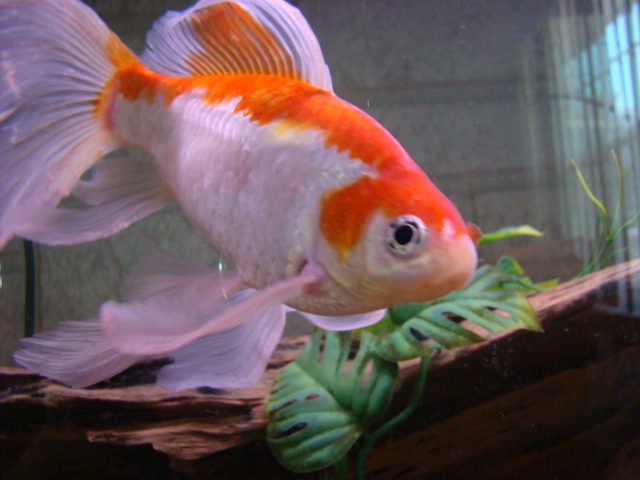 Fancy Tail Goldfish Flickr - Photo Sharing!